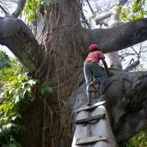 Captain climbs deh tree